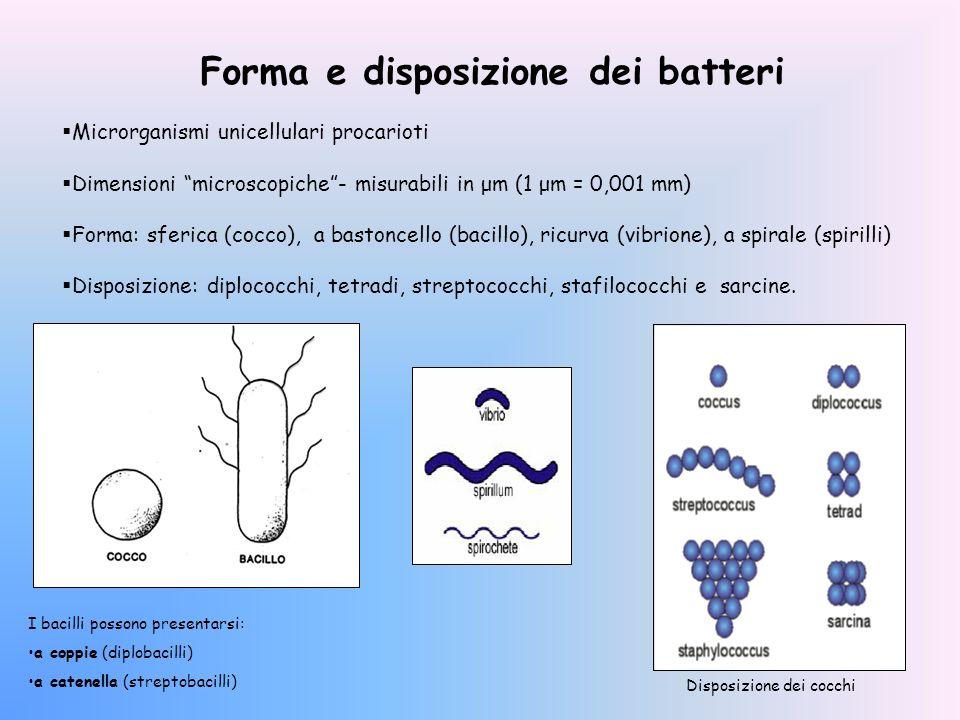 Forma e disposizione dei batteri Microrganismi unicellulari procarioti Dimensioni microscopiche- misurabili in μm (1 μm = 0,001 mm) Forma: sferica (co