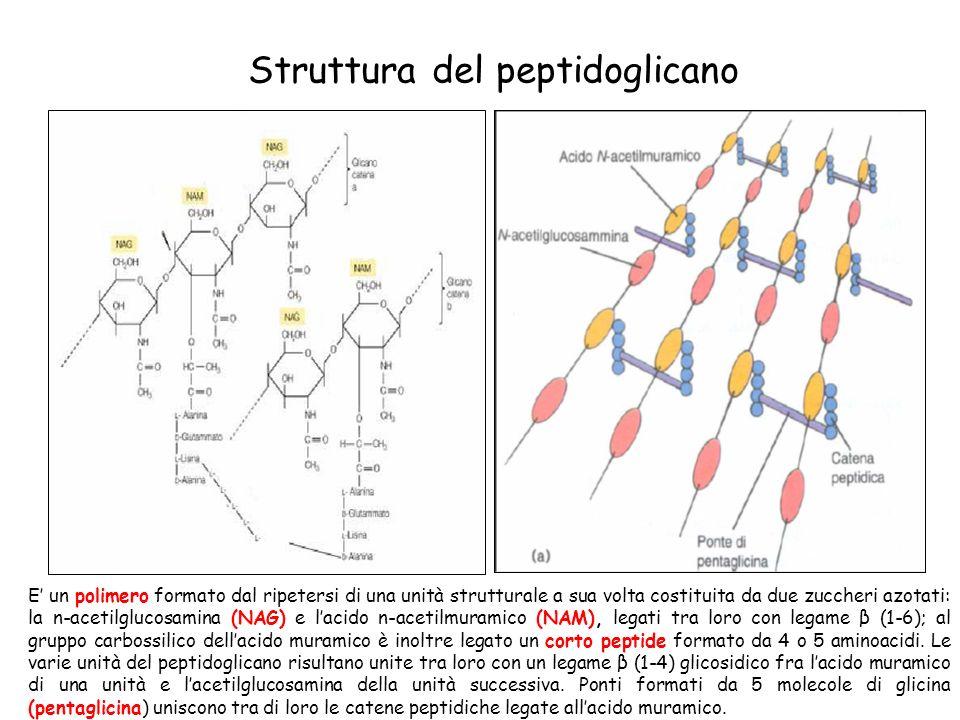 Struttura del peptidoglicano E un polimero formato dal ripetersi di una unità strutturale a sua volta costituita da due zuccheri azotati: la n-acetilg