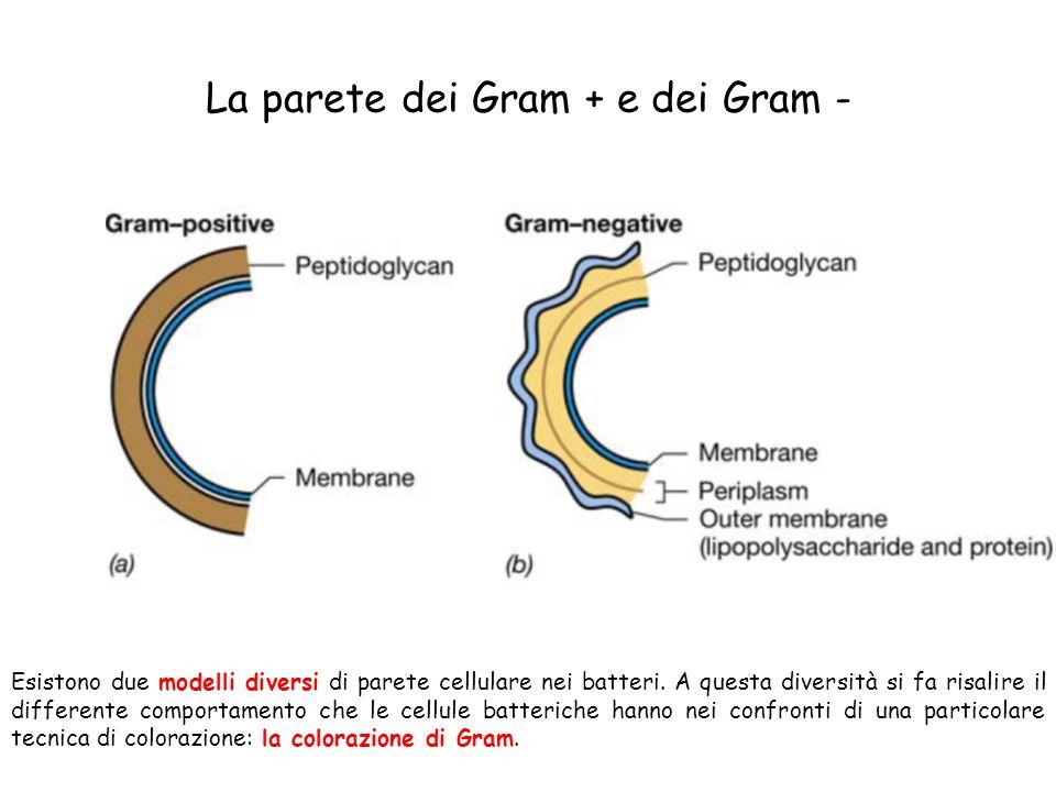 La parete dei Gram + e dei Gram - Esistono due modelli diversi di parete cellulare nei batteri. A questa diversità si fa risalire il differente compor