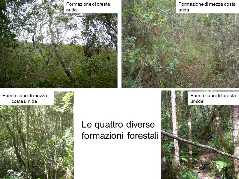 Formazione di cresta arida Formazione di mezza costa arida Formazione di mezza costa umida Formazione di foresta umida Le quattro diverse formazioni forestali