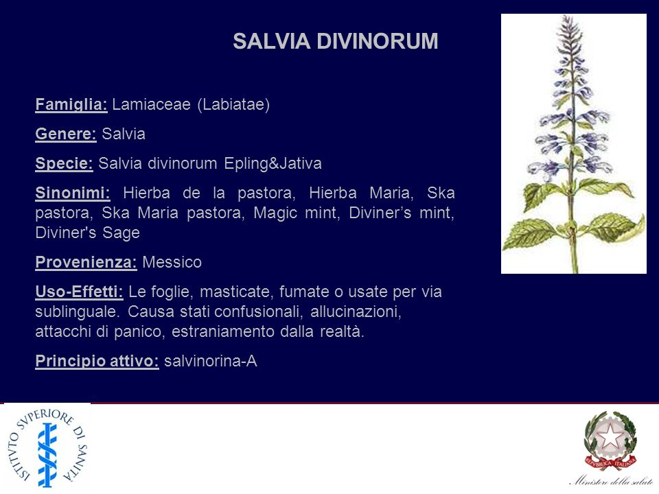 SALVIA DIVINORUM Famiglia: Lamiaceae (Labiatae) Genere: Salvia Specie: Salvia divinorum Epling&Jativa Sinonimi: Hierba de la pastora, Hierba Maria, Sk