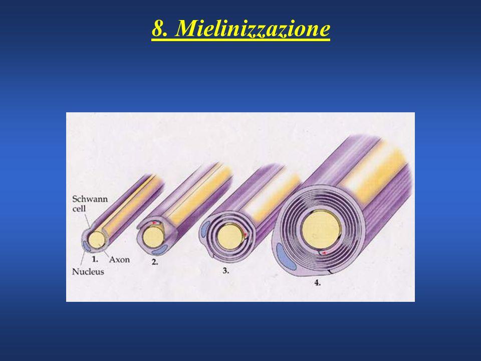 8. Mielinizzazione