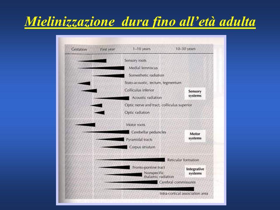 Mielinizzazione dura fino alletà adulta