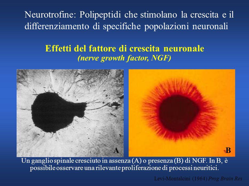 Levi-Montalcini (1964) Prog Brain Res Effetti del fattore di crescita neuronale (nerve growth factor, NGF) Un ganglio spinale cresciuto in assenza (A)
