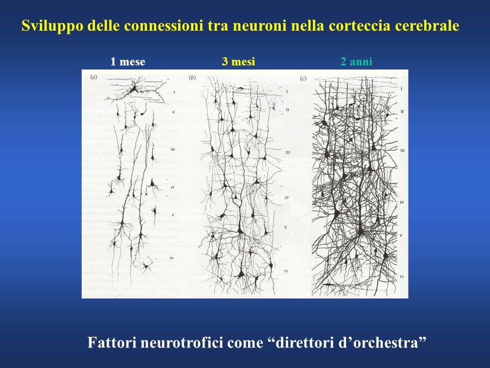 Sviluppo delle connessioni tra neuroni nella corteccia cerebrale 1 mese 3 mesi 2 anni Fattori neurotrofici come direttori dorchestra