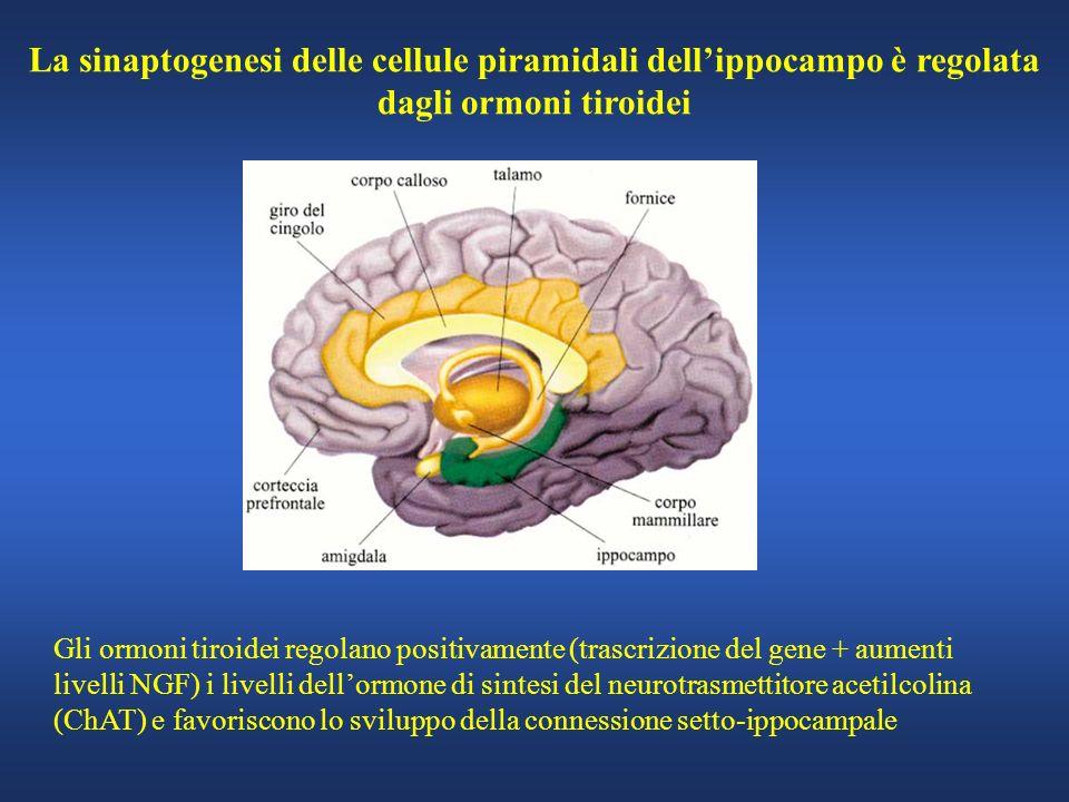La sinaptogenesi delle cellule piramidali dellippocampo è regolata dagli ormoni tiroidei Gli ormoni tiroidei regolano positivamente (trascrizione del