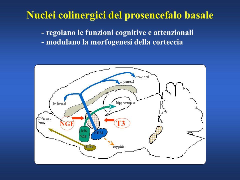 Nuclei colinergici del prosencefalo basale - regolano le funzioni cognitive e attenzionali - modulano la morfogenesi della corteccia NGF T3