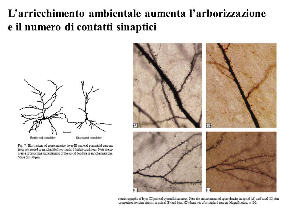 Larricchimento ambientale aumenta larborizzazione e il numero di contatti sinaptici