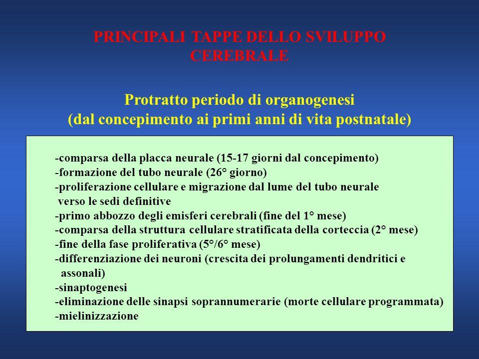 PRINCIPALI TAPPE DELLO SVILUPPO CEREBRALE Protratto periodo di organogenesi (dal concepimento ai primi anni di vita postnatale) -comparsa della placca