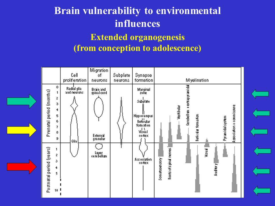 Brain vulnerability to environmental influences Extended organogenesis (from conception to adolescence)