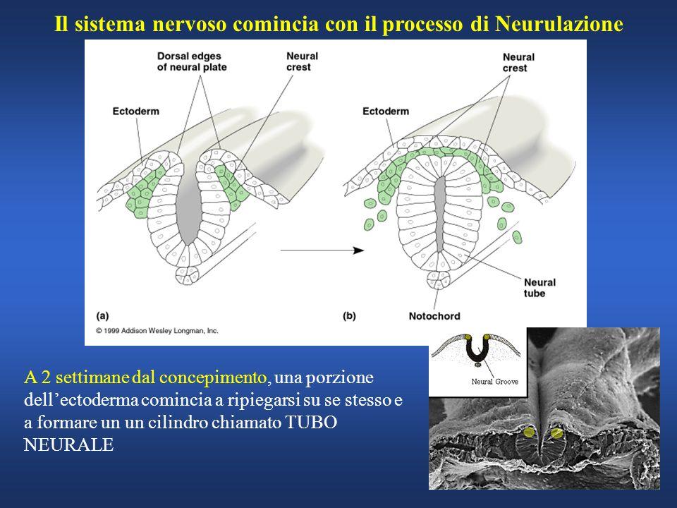 Il sistema nervoso comincia con il processo di Neurulazione A 2 settimane dal concepimento, una porzione dellectoderma comincia a ripiegarsi su se ste