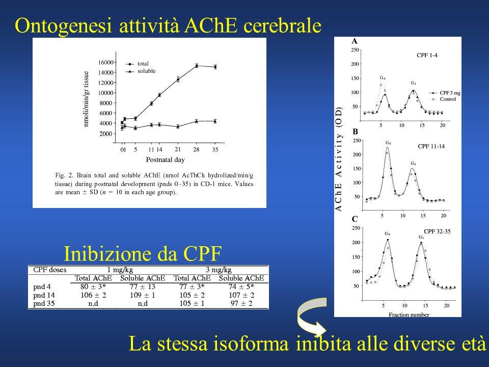 Ontogenesi attività AChE cerebrale Inibizione da CPF La stessa isoforma inibita alle diverse età