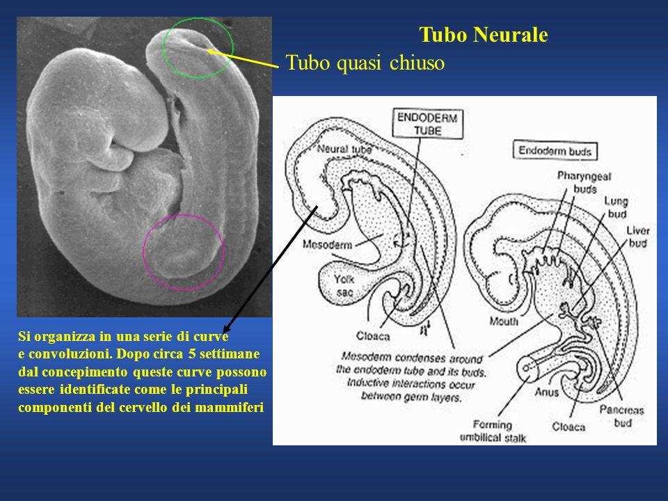 Tubo quasi chiuso Tubo Neurale Si organizza in una serie di curve e convoluzioni. Dopo circa 5 settimane dal concepimento queste curve possono essere