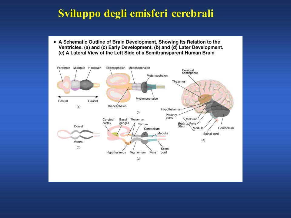 Sviluppo degli emisferi cerebrali