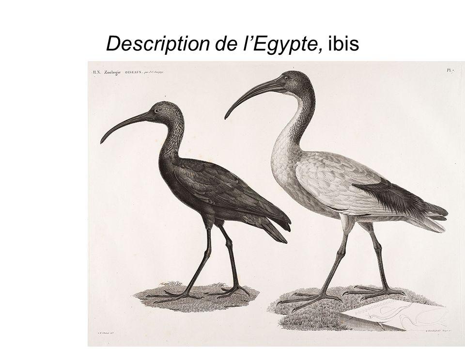 Description de lEgypte, ibis mummificato
