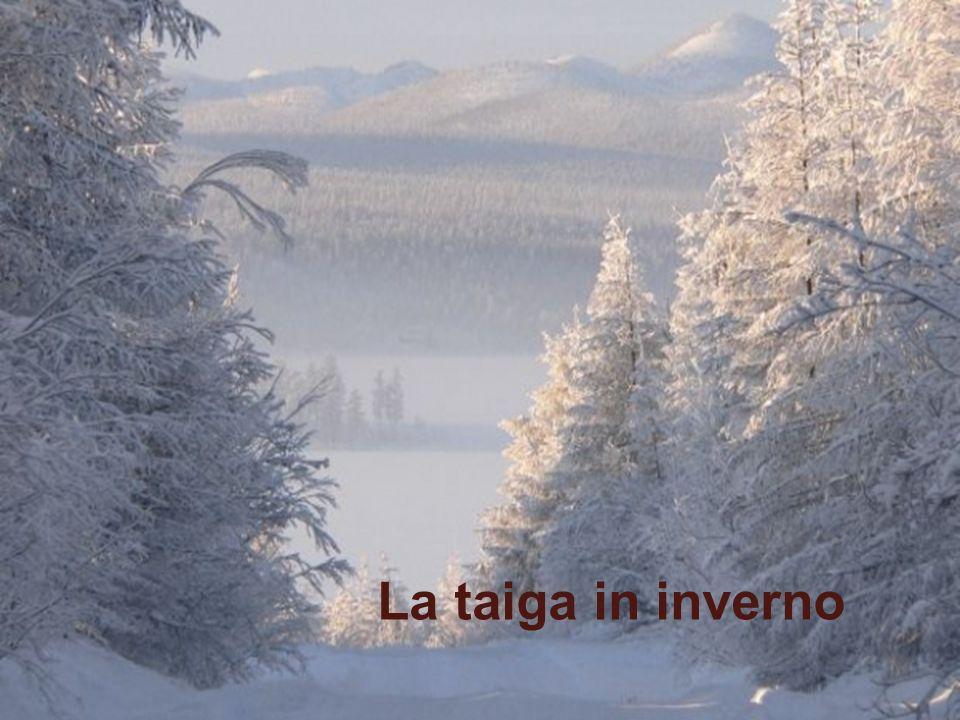 Taiga www.didadada.it La Transiberiana attraverso la Taiga, sterminata foresta di conifere. La taiga in inverno