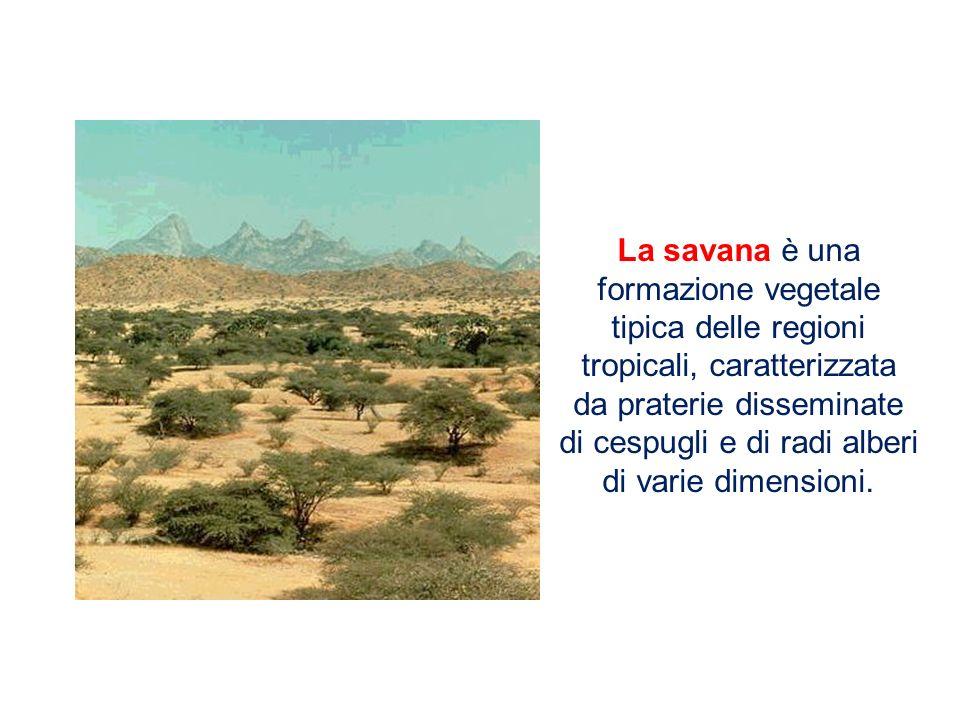 La savana è una formazione vegetale tipica delle regioni tropicali, caratterizzata da praterie disseminate di cespugli e di radi alberi di varie dimen