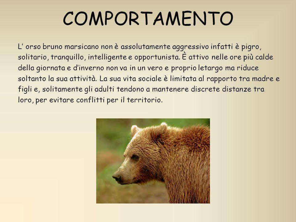 COMPORTAMENTO L orso bruno marsicano non è assolutamente aggressivo infatti è pigro, solitario, tranquillo, intelligente e opportunista. È attivo nell