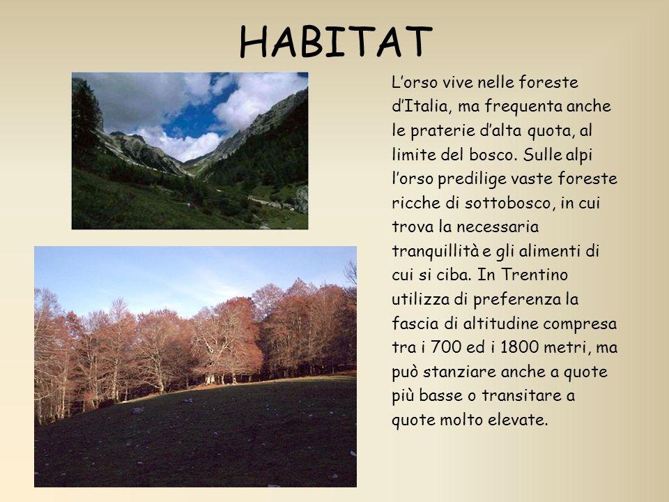 HABITAT Lorso vive nelle foreste dItalia, ma frequenta anche le praterie dalta quota, al limite del bosco. Sulle alpi lorso predilige vaste foreste ri