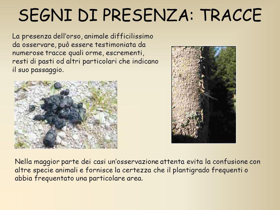 SEGNI DI PRESENZA: TRACCE La presenza dellorso, animale difficilissimo da osservare, può essere testimoniata da numerose tracce quali orme, escrementi