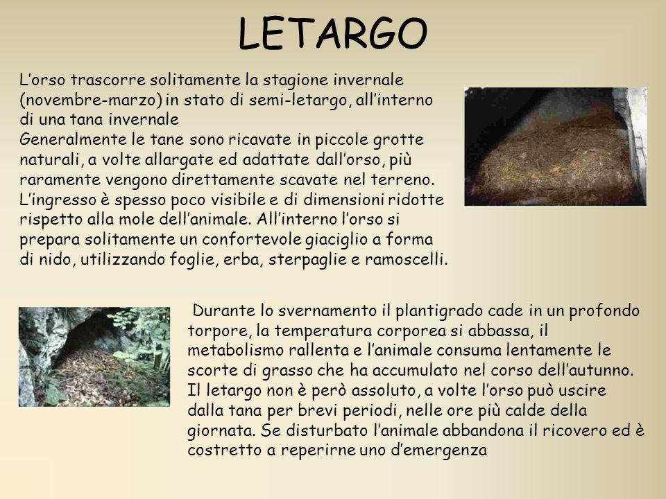 LETARGO Lorso trascorre solitamente la stagione invernale (novembre-marzo) in stato di semi-letargo, allinterno di una tana invernale Generalmente le