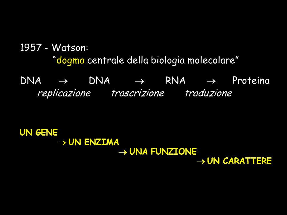 1957 - Watson: dogma centrale della biologia molecolare DNA DNA RNA Proteina replicazione trascrizione traduzione UN GENE UN ENZIMA UNA FUNZIONE UN CA
