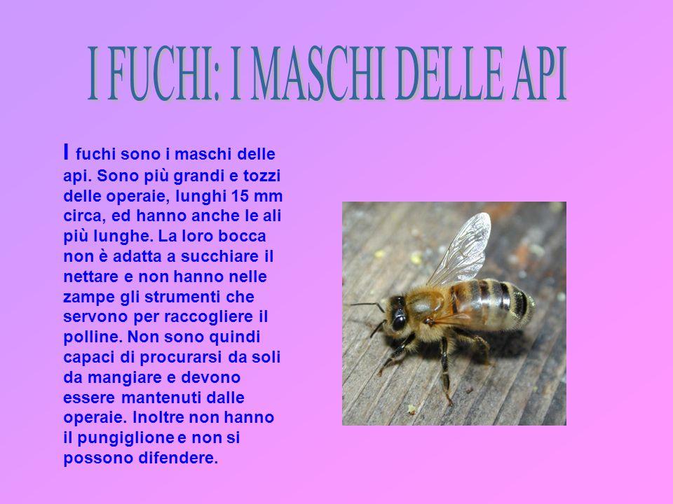 I fuchi sono i maschi delle api.