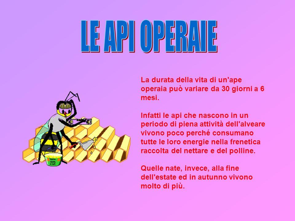 La durata della vita di un ape operaia può variare da 30 giorni a 6 mesi.