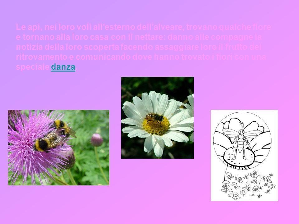 Le api, nei loro voli all esterno dell alveare, trovano qualche fiore e tornano alla loro casa con il nettare: danno alle compagne la notizia della loro scoperta facendo assaggiare loro il frutto del ritrovamento e comunicando dove hanno trovato i fiori con una speciale danza.danza