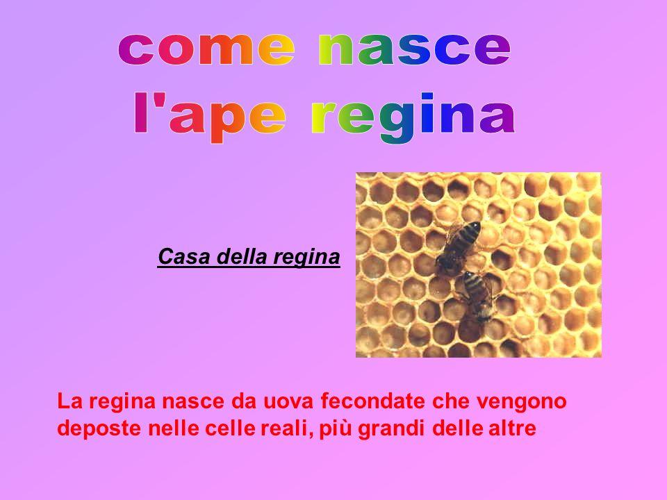 A differenza delle altre api, le regine, vengono nutrite con pappa reale per tutta la durata dello stato larvale.