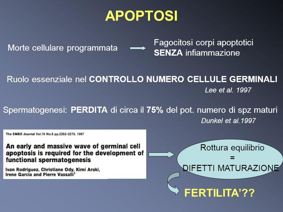 APOPTOSI Morte cellulare programmata Fagocitosi corpi apoptotici SENZA infiammazione Ruolo essenziale nel CONTROLLO NUMERO CELLULE GERMINALI Lee et al