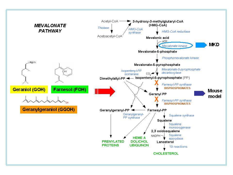 MEVALONATE PATHWAY Geraniol (GOH)Farnesol (FOH) Geranylgeraniol (GGOH) X X MKD Mouse model