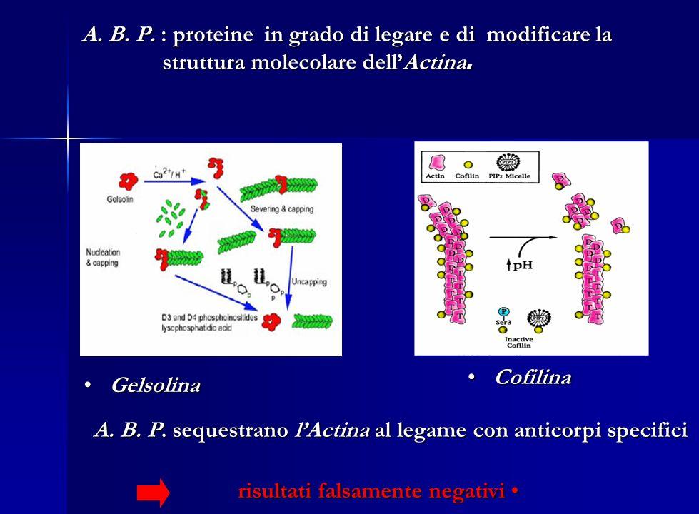 A. B. P. : proteine in grado di legare e di modificare la struttura molecolare dellActina. A. B. P. : proteine in grado di legare e di modificare la s