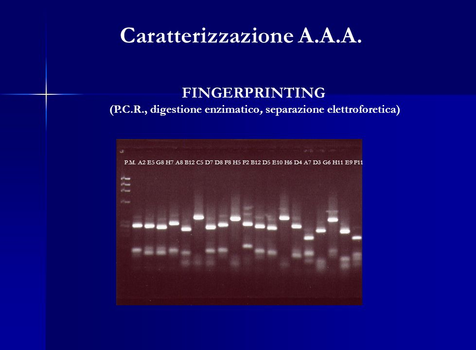 FINGERPRINTING (P.C.R., digestione enzimatico, separazione elettroforetica) P.M. A2 E5 G8 H7 A8 B12 C5 D7 D8 F8 H5 F2 B12 D5 E10 H6 D4 A7 D3 G6 H11 E9