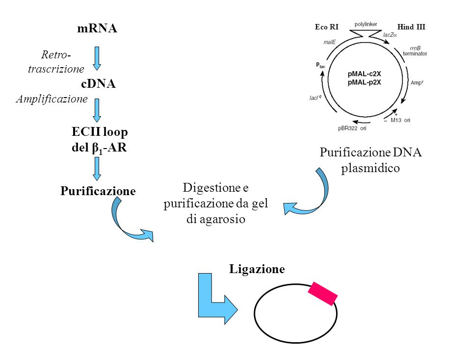 Purificazione DNA plasmidico Eco RIHind III Digestione e purificazione da gel di agarosio mRNA Retro- trascrizione cDNA ECII loop del β 1 -AR Purifica