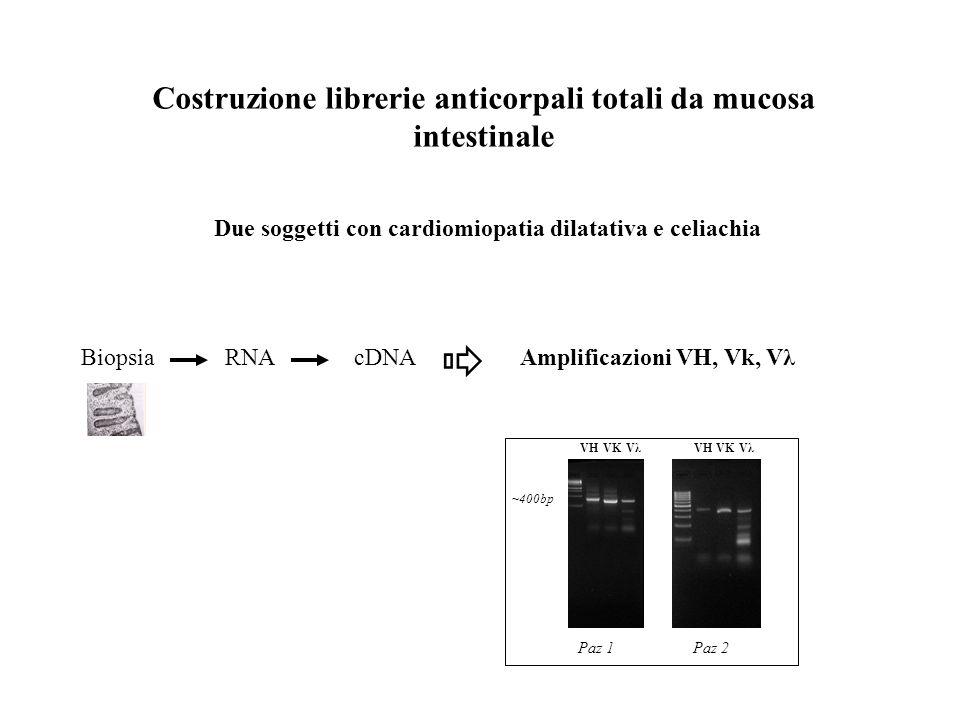 Costruzione librerie anticorpali totali da mucosa intestinale Due soggetti con cardiomiopatia dilatativa e celiachia BiopsiaRNAcDNA Amplificazioni VH,