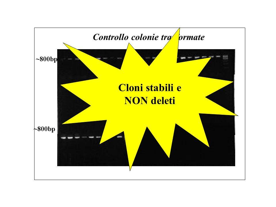 ~800bp Controllo colonie trasformate Cloni stabili e NON deleti