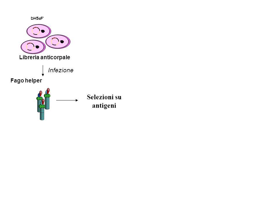 Libreria anticorpale DH5αF Fago helper Infezione Selezioni su antigeni