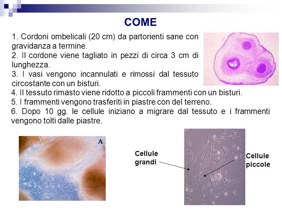 COME 1. Cordoni ombelicali (20 cm) da partorienti sane con gravidanza a termine.