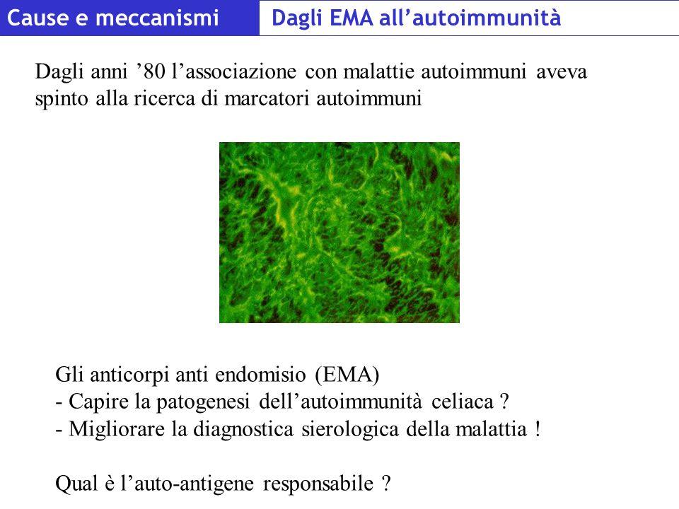 Cause e meccanismi Gli anticorpi anti endomisio (EMA) - Capire la patogenesi dellautoimmunità celiaca ? - Migliorare la diagnostica sierologica della