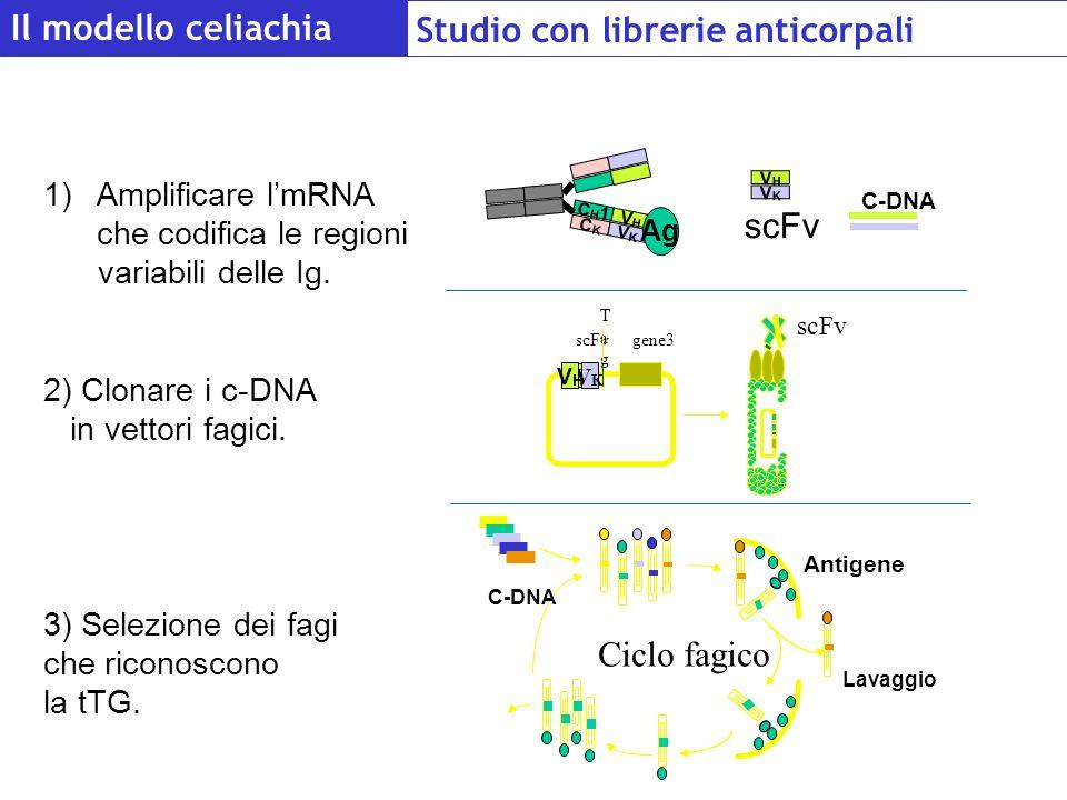 Il modello celiachia Studio con librerie anticorpali 1)Amplificare lmRNA che codifica le regioni variabili delle Ig. 2) Clonare i c-DNA in vettori fag
