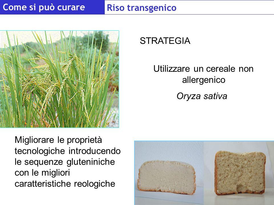 STRATEGIA Migliorare le proprietà tecnologiche introducendo le sequenze gluteniniche con le migliori caratteristiche reologiche Utilizzare un cereale non allergenico Oryza sativa Come si può curare Riso transgenico