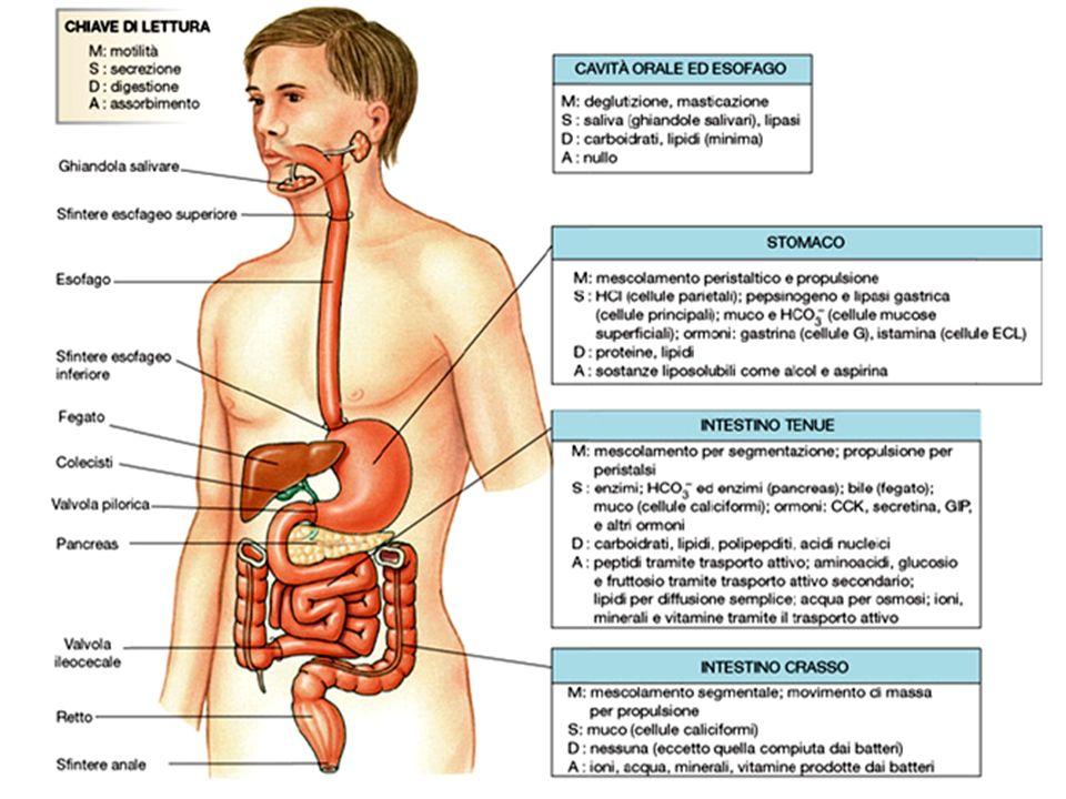 Digestione inefficace dei peptidi tossici da parte degli enzimi del brush border intestinale Efficace completamento della Digestione con Prolyl endopeptidasi batterica Come si può curare Peptidasi