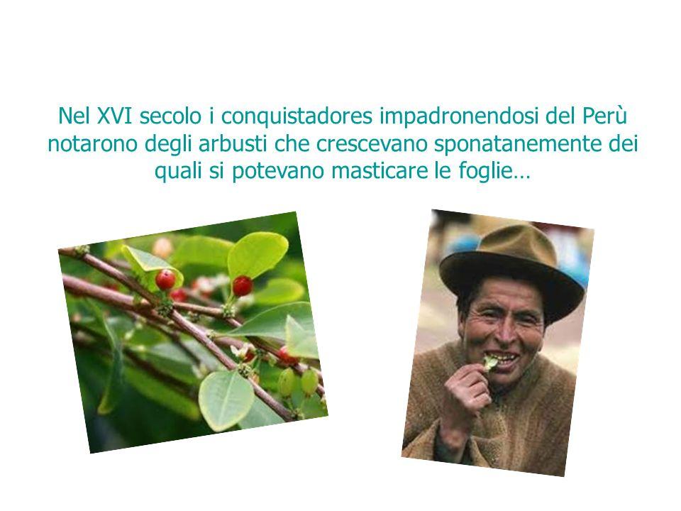Nel XVI secolo i conquistadores impadronendosi del Perù notarono degli arbusti che crescevano sponatanemente dei quali si potevano masticare le foglie…