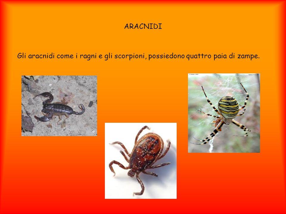 ARACNIDI Gli aracnidi come i ragni e gli scorpioni, possiedono quattro paia di zampe.
