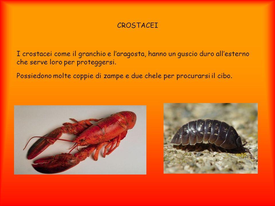 CROSTACEI I crostacei come il granchio e laragosta, hanno un guscio duro allesterno che serve loro per proteggersi. Possiedono molte coppie di zampe e