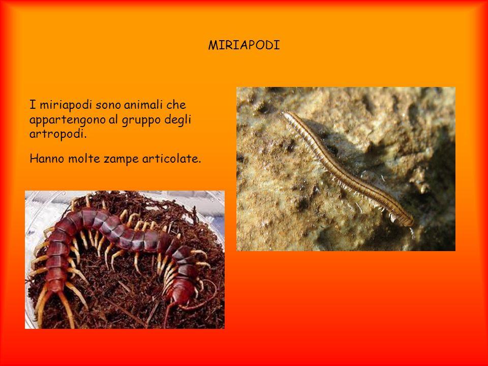 MIRIAPODI I miriapodi sono animali che appartengono al gruppo degli artropodi. Hanno molte zampe articolate.