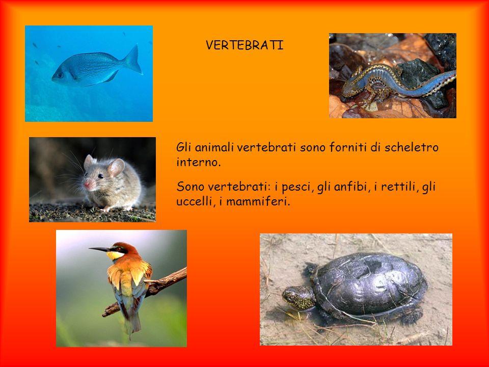 VERTEBRATI Gli animali vertebrati sono forniti di scheletro interno. Sono vertebrati: i pesci, gli anfibi, i rettili, gli uccelli, i mammiferi.