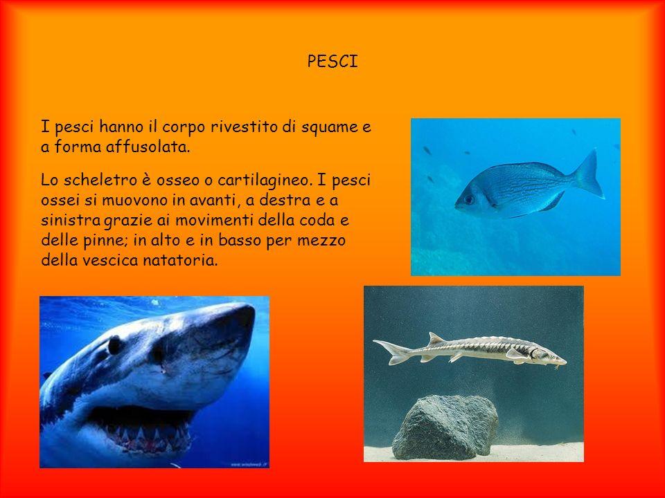 PESCI I pesci hanno il corpo rivestito di squame e a forma affusolata. Lo scheletro è osseo o cartilagineo. I pesci ossei si muovono in avanti, a dest