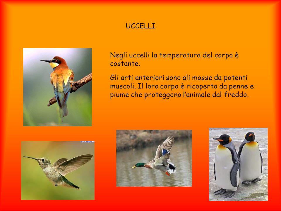 UCCELLI Negli uccelli la temperatura del corpo è costante. Gli arti anteriori sono ali mosse da potenti muscoli. Il loro corpo è ricoperto da penne e